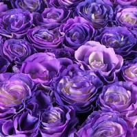 Розы-хамелеоны