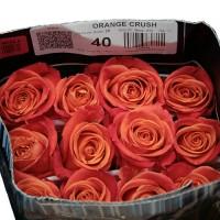 Роза Orange Crush