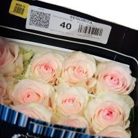Роза Se&#241|orita