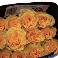 Роза High & Yellow Magic